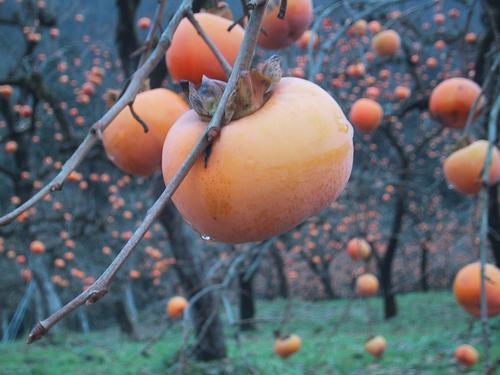 北御山柿畑