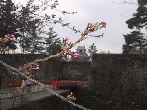 お堀の桜(蕾)