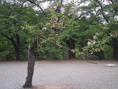 遅咲き桜 木