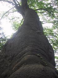石垣上の巨木