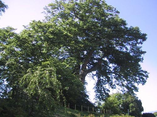 国指定天然記念物ケヤキ巨木