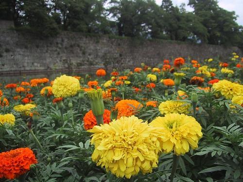 鶴ヶ城お堀の花壇より