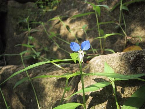 石段の間に咲いていました。