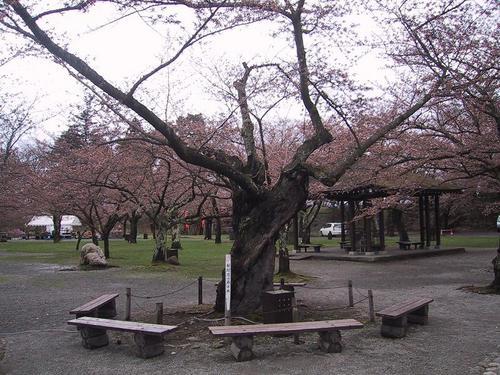 桜開花基準木11