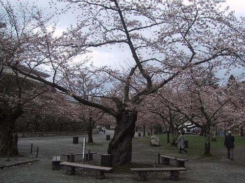 桜開花基準木14