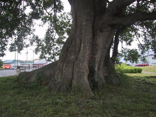 錦町稲荷神社跡のエノキ 幹部分