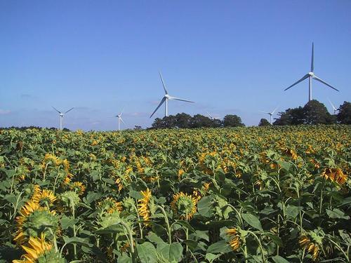 ヒマワリと風車