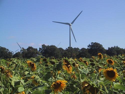 ヒマワリと風車2