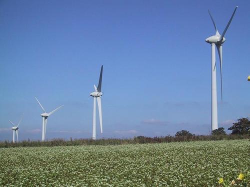 ソバの花と風車