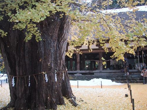 熊野神社の大イチョウ