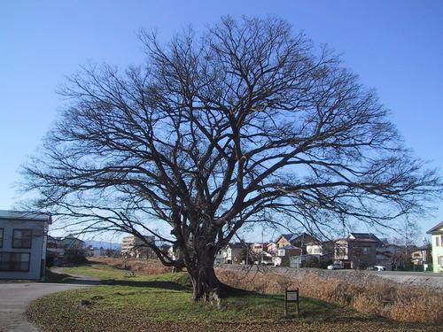 錦町稲荷神社跡のエノキ