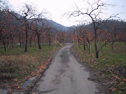 柿畑の中の道(舗装です)