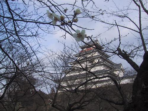 梅が咲きはじめました